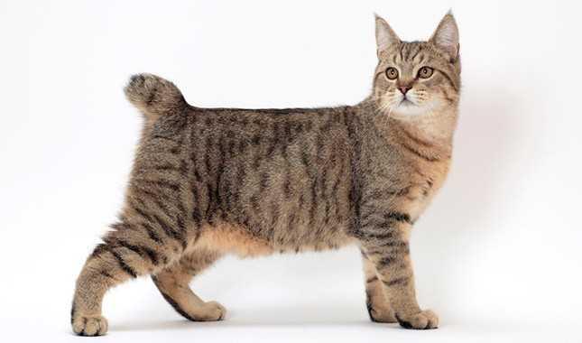 Пиксибоб: описание породы, фото кошки, цена