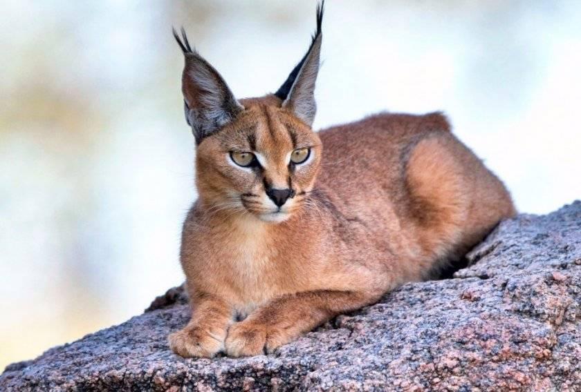 Каракал: описание и фото пустынной рыси, внешность и характер степной кошки, ареал обитания и содержание дикого кота в домашних условиях