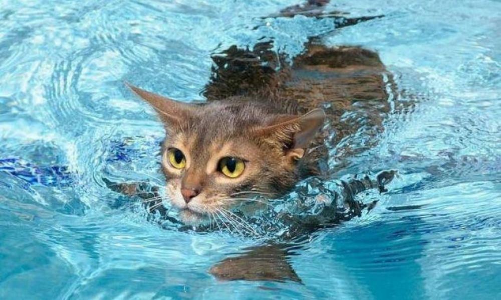 Какие кошки любят купаться? | животные | школажизни.ру