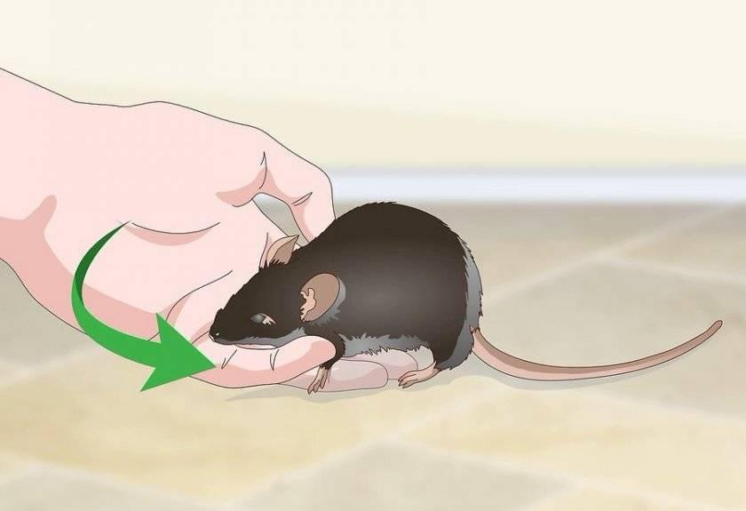 Что делать если укусила домашняя крыса до крови?