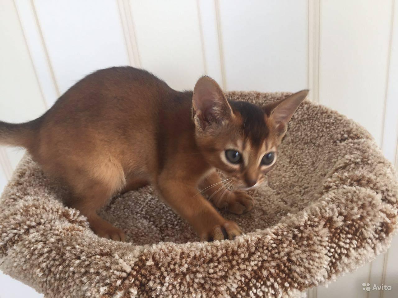 Все о кошках абиссинской породы