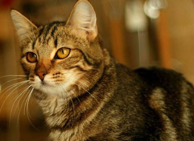 ᐉ восточно европейская кошка – кельтская порода кошек фото - zoomanji.ru