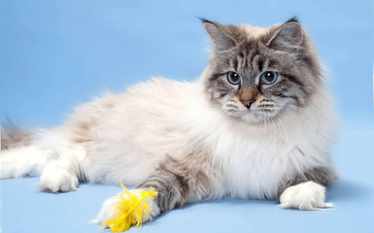 Порода кошек невская маскарадная: 140 фото, особенности окраса, цена и описание породы