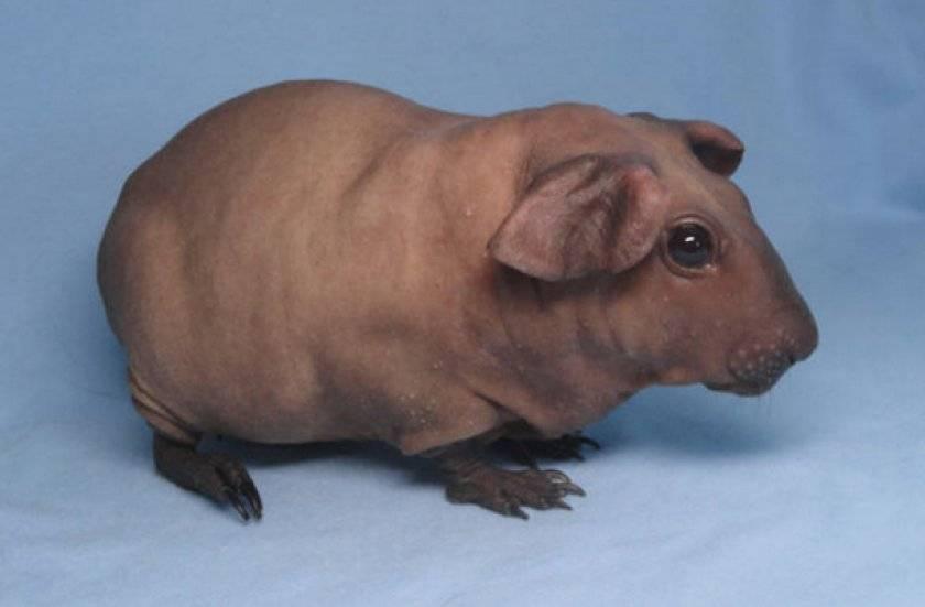 Морская свинка породы селф (19 фото): характеристика и особенности ухода в домашних условиях