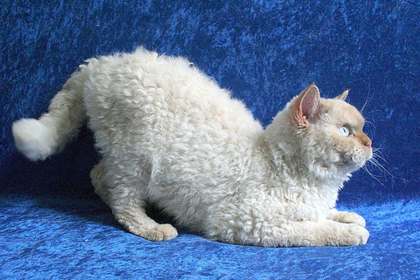 Селкирк рекс: 80 фото и полный обзор кучерявой кошки