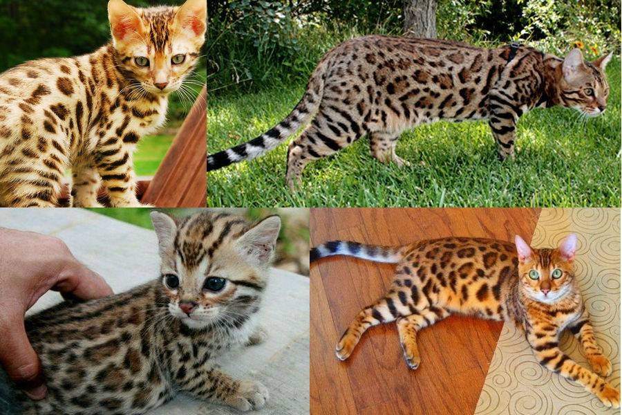 Бенгальская кошка — история происхождения породы, описание, характер, питание + 75 фото