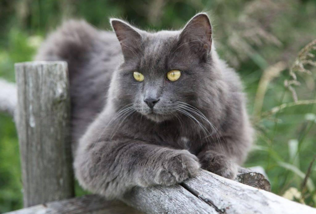 Нибелунг - описание породы кошек, +фото