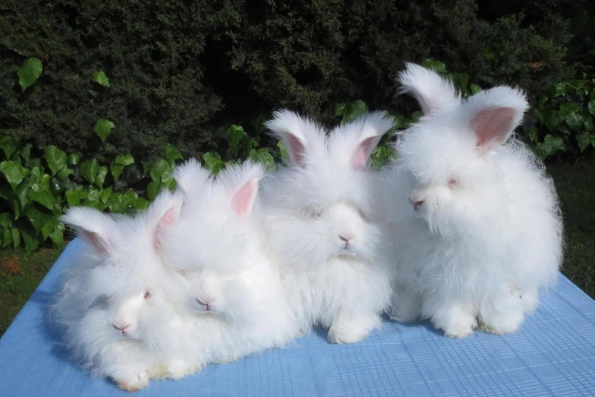 Ангорский кролик: история происхождения, описание, разведение, уход, кормление, плюсы и минусы пушистой породы