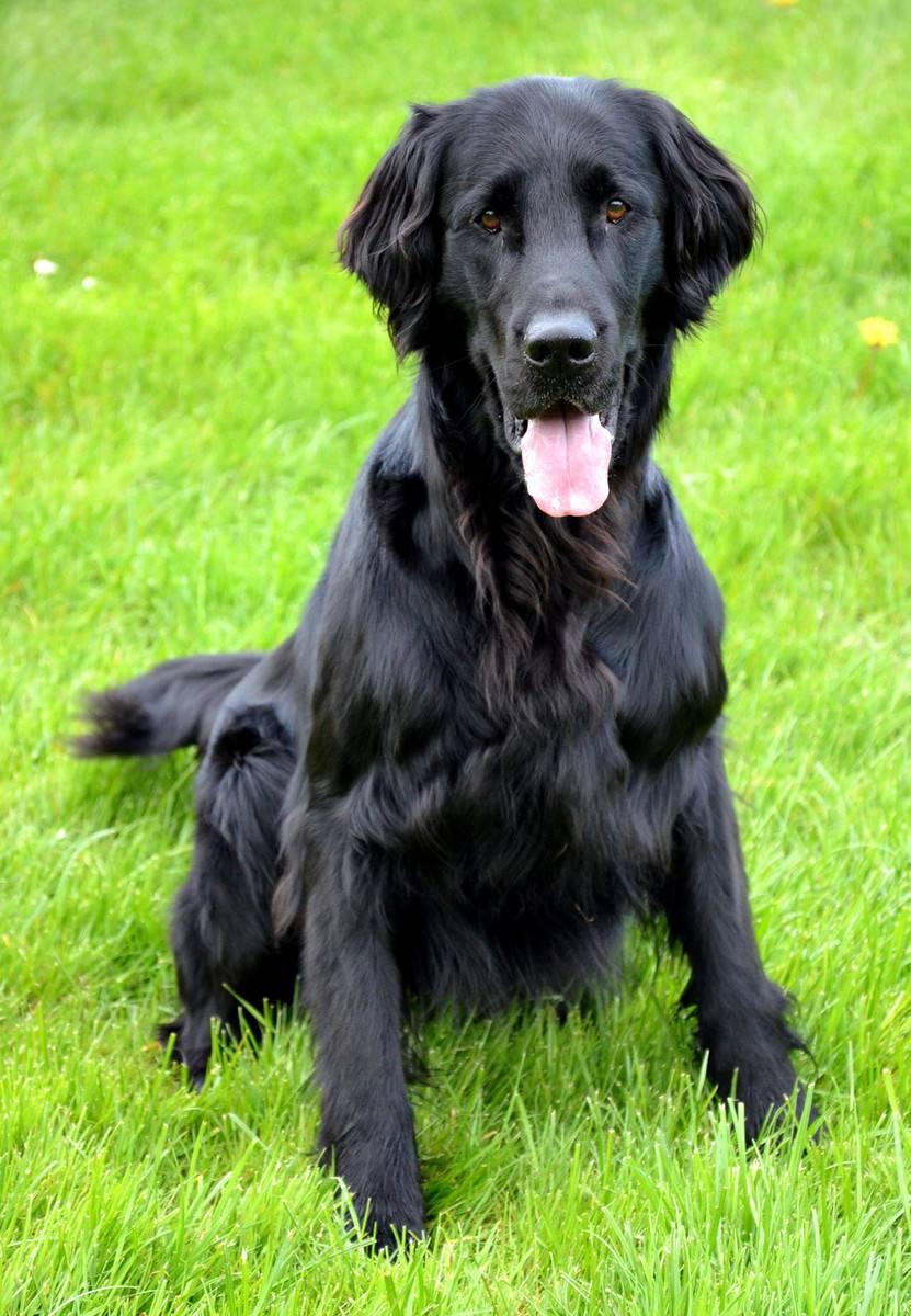 Черный лабрадор-ретривер: фото собак, черты характера, внешние описание, как развиваются щенки, выбор питомца и правила ухода