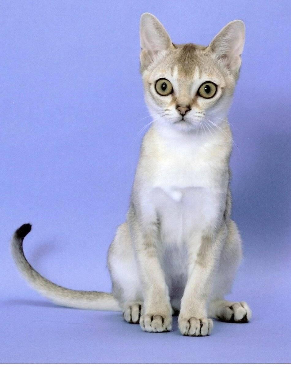 Кот с большими глазами: лупоглазые породы