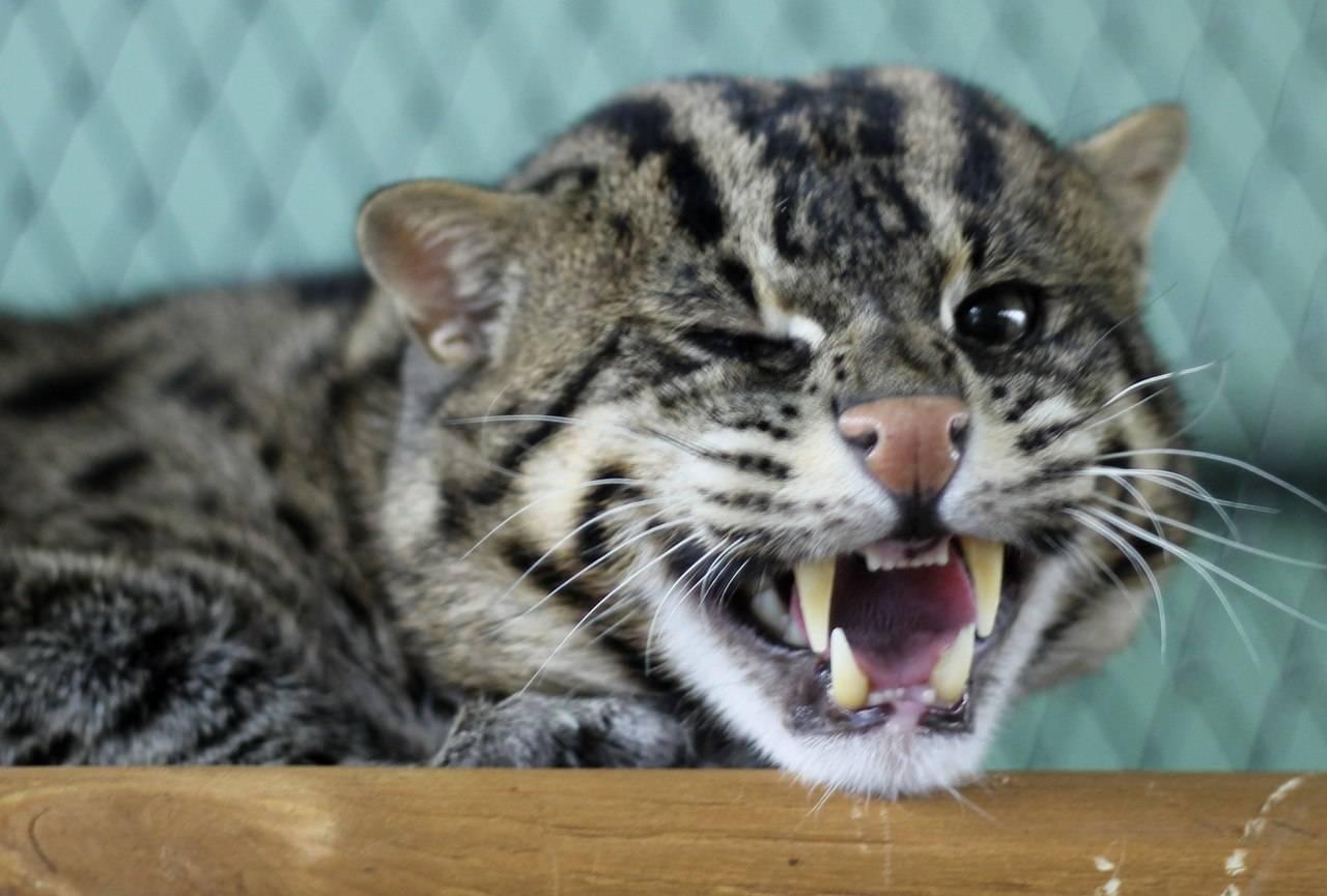 Среда обитания и образ жизни кошки-рыболова