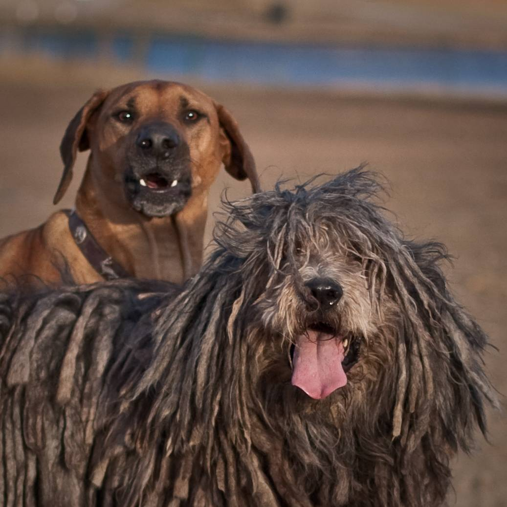 Бергамская овчарка: фото, описание и характеристика породы, уход | все о собаках