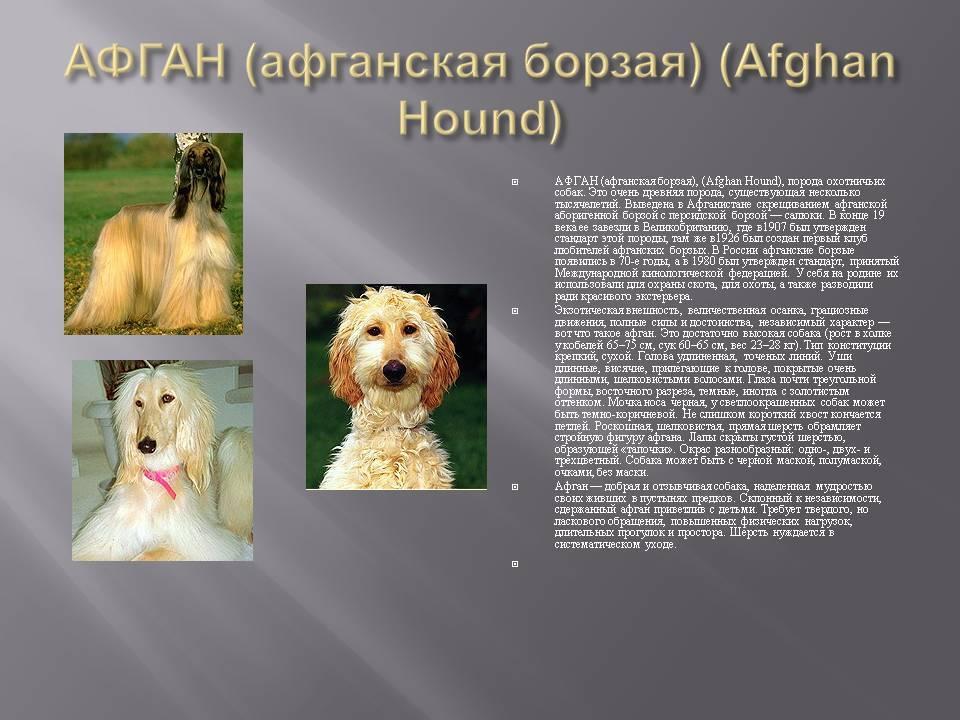 Афганская борзая: описание, фото, характер, содержание и уход за охотничьей породой собак