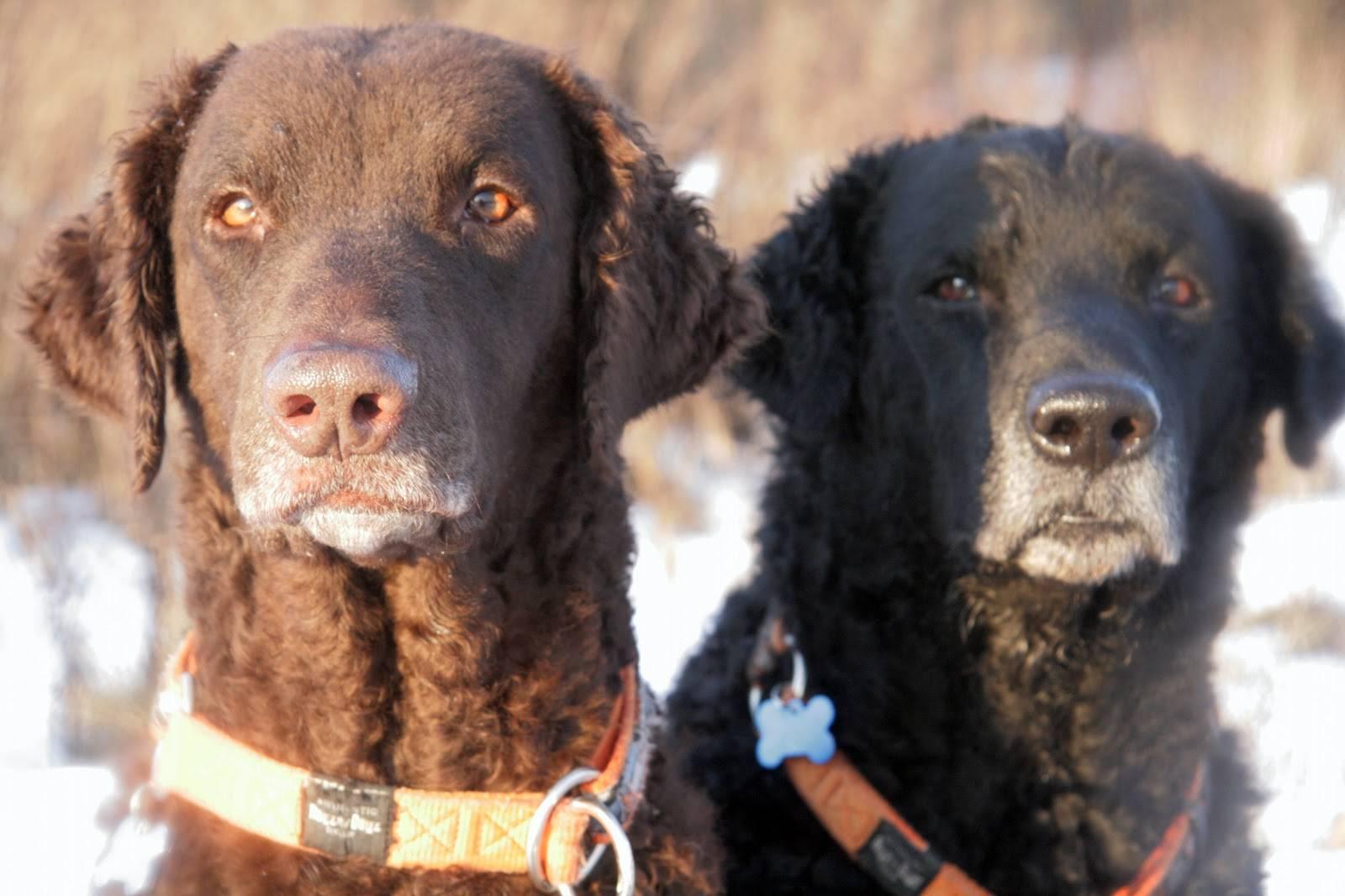 Курчавошерстный ретривер или кёрли retriever. гончие охотничьи собаки. стандарт породы. содержание, кормление, уход за шестью, зубами, когтями, подготовка к выставке, вязка. фото.