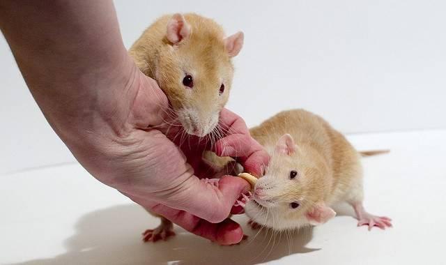 Сколько проживет мышь без еды и воды. и сколько вообще они живут?