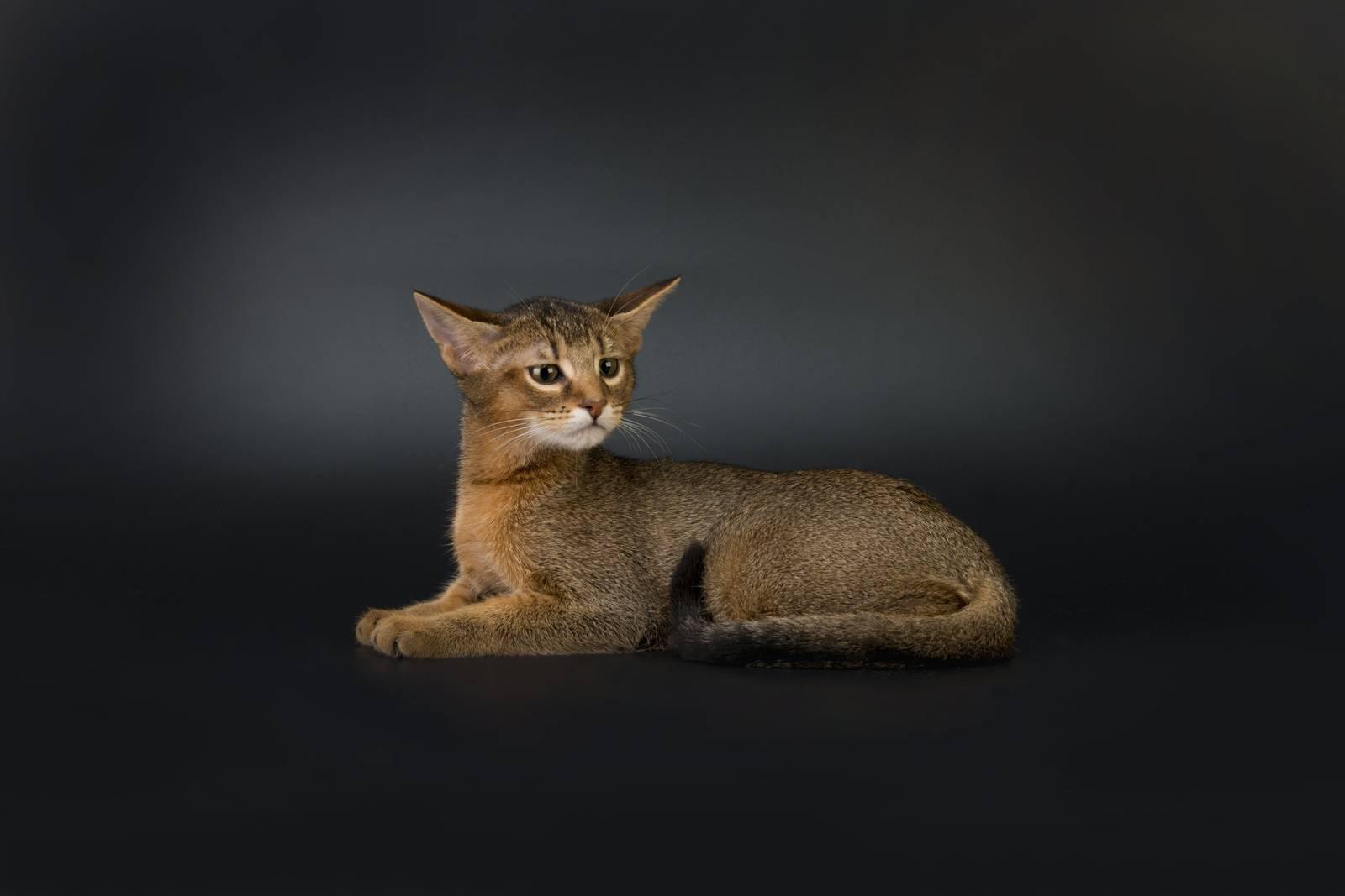 Чаузи: кошки и коты