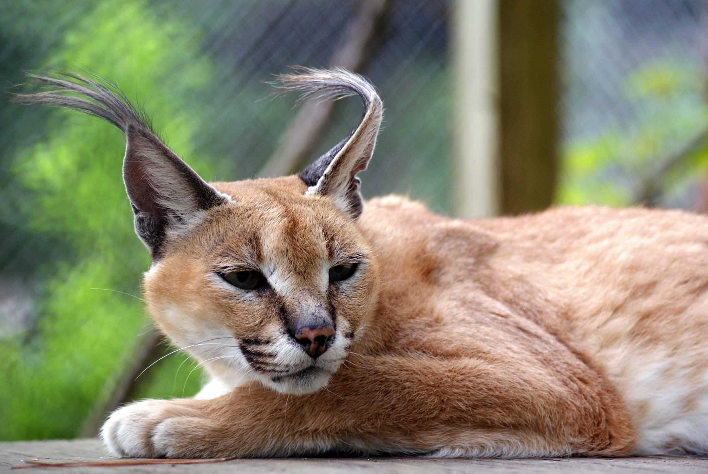 Пума: описание животного, где обитает, сколько живет, чем питается