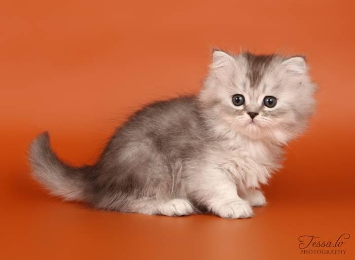 Кошки хайленд страйт: описание внешности и характера, уход, выбор котёнка, отзывы владельцев, фото шотландского длинношёрстного кота