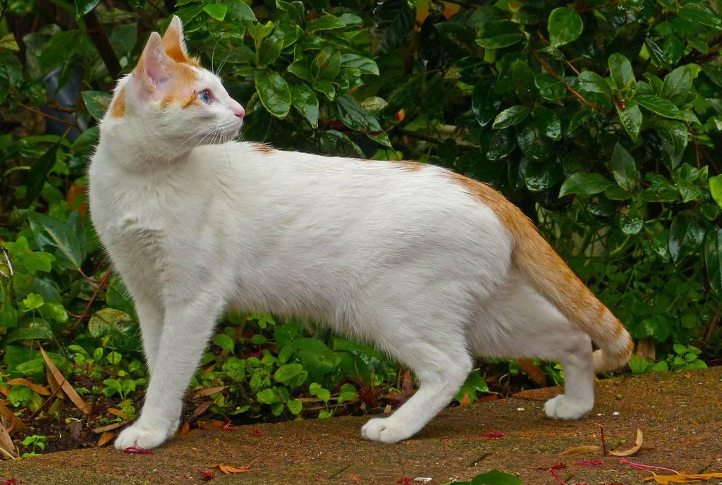 Порода аравийская мау (арабская мау) - мир кошек