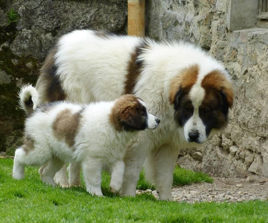 Басенджи, описание породы, правила ухода, содержания и выбора щенка