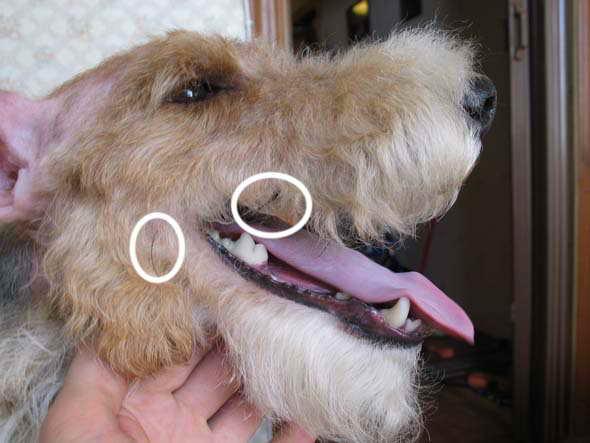 Можно ли собаке стричь усы. зачем собаке нужны усы.