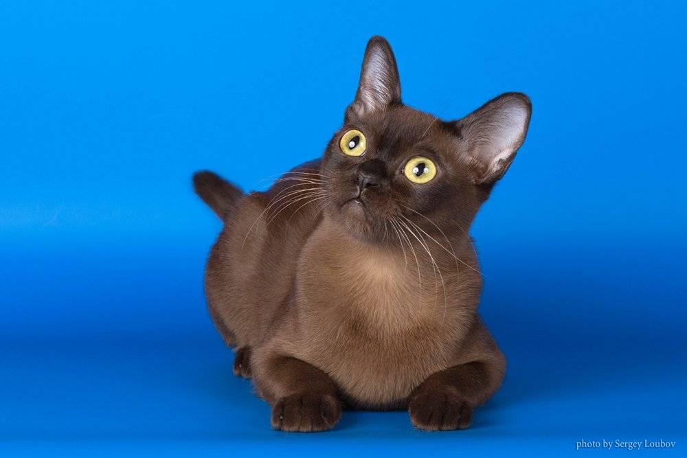 Бурма. о породе кошек: описание породы бурма, цены, фото, уход