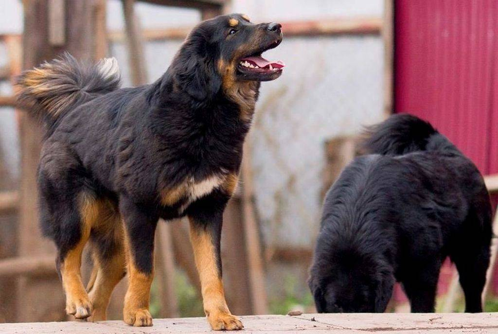 Бурят-монгольский волкодав (хоттошо): фото, купить, видео, цена, содержание дома