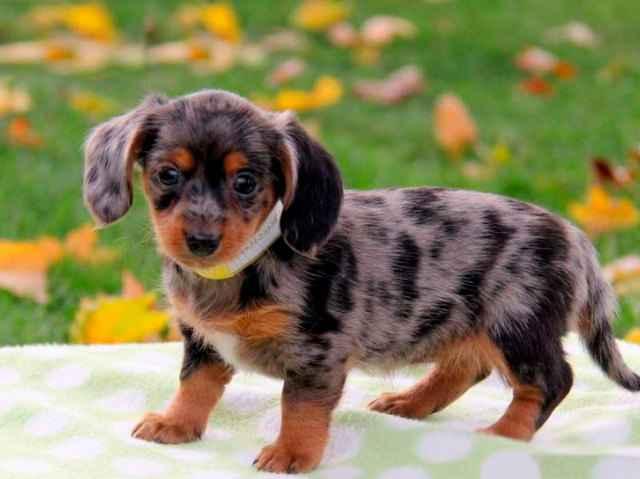 6 вариантов метисов собак породы таксы и как отличить породистого щенка