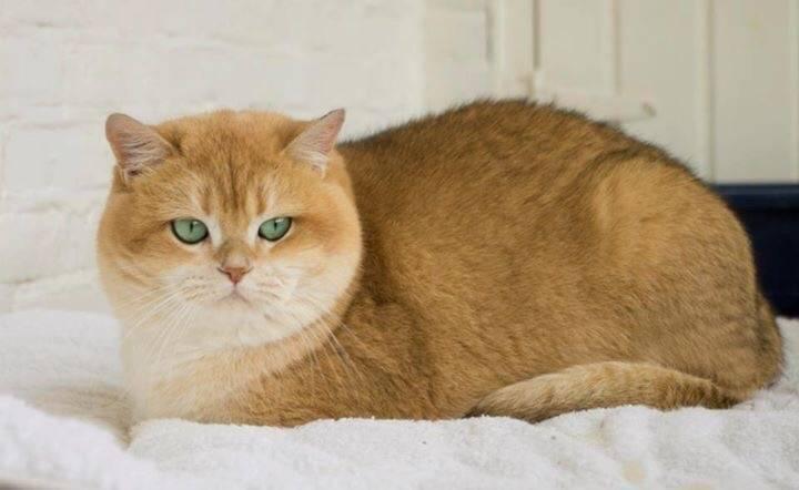 Внешний вид, поведение и особенности содержания породы кошек британская серебристая шиншилла