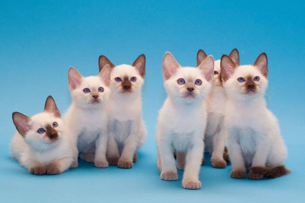 Меконгский бобтейл (mekong-bobtail) кошка: подробное описание, фото, купить, видео, цена, содержание дома