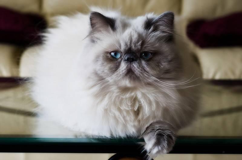 Персидская кошка: описание и уход за древнейшей породой