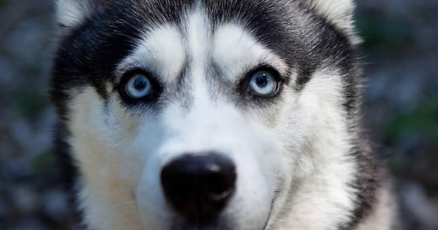 Особенности разных глаз у породы хаски: как выглядят карие, голубые и зеленые