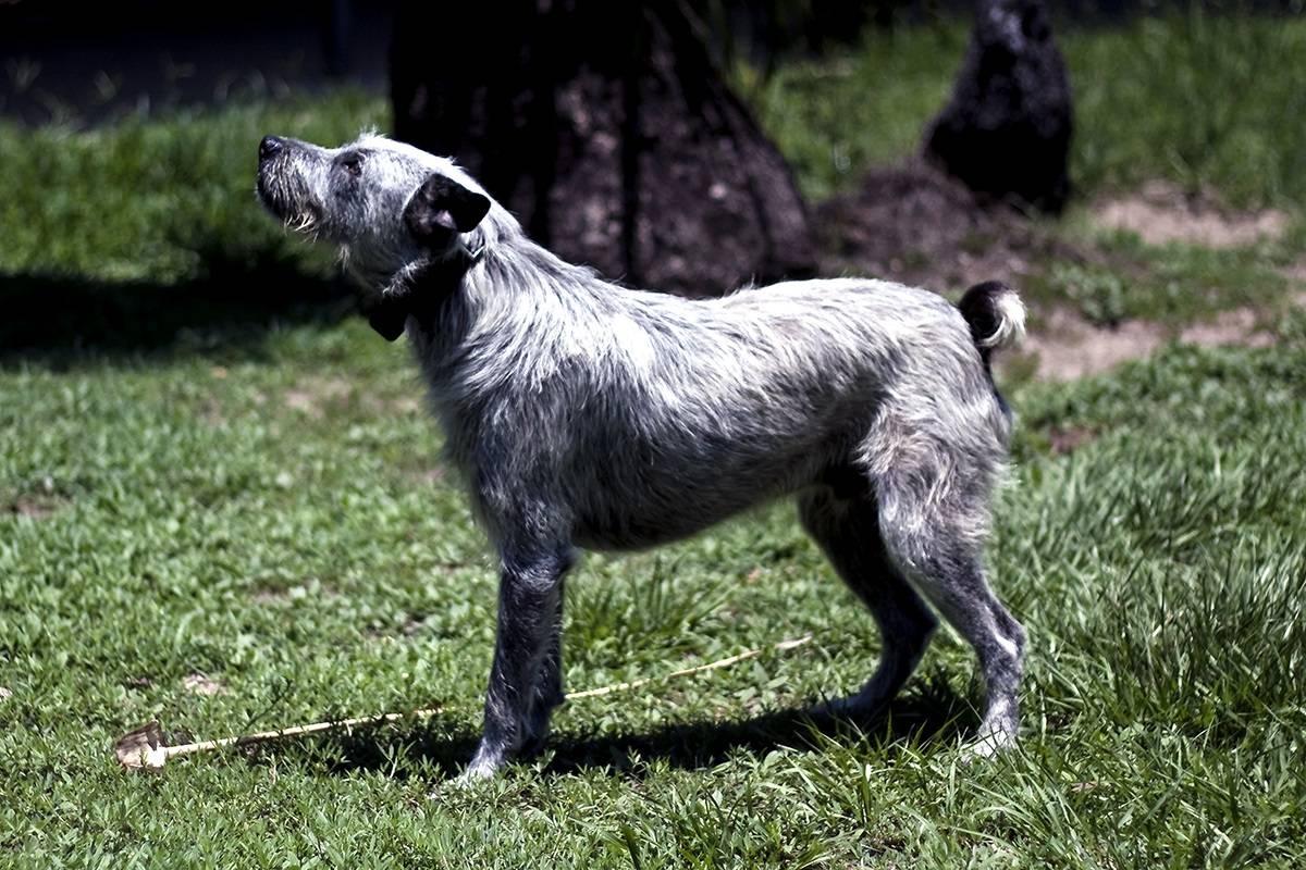 Австралийский хилер собака. описание, особенности, цена и уход за породой австралийский хилер   живность.ру