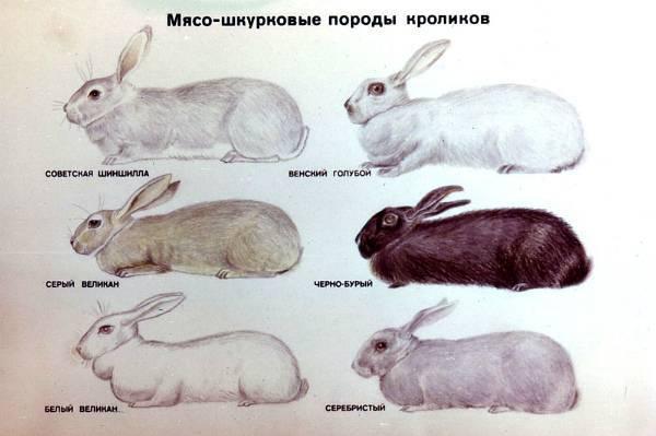 Порода кроликов серый великан: описание, уход и размножение