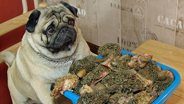 Чем кормить месячного щенка мопса: правила питания