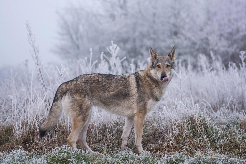 Чехословацкий влчак: фото, описание породы, содержание и уход