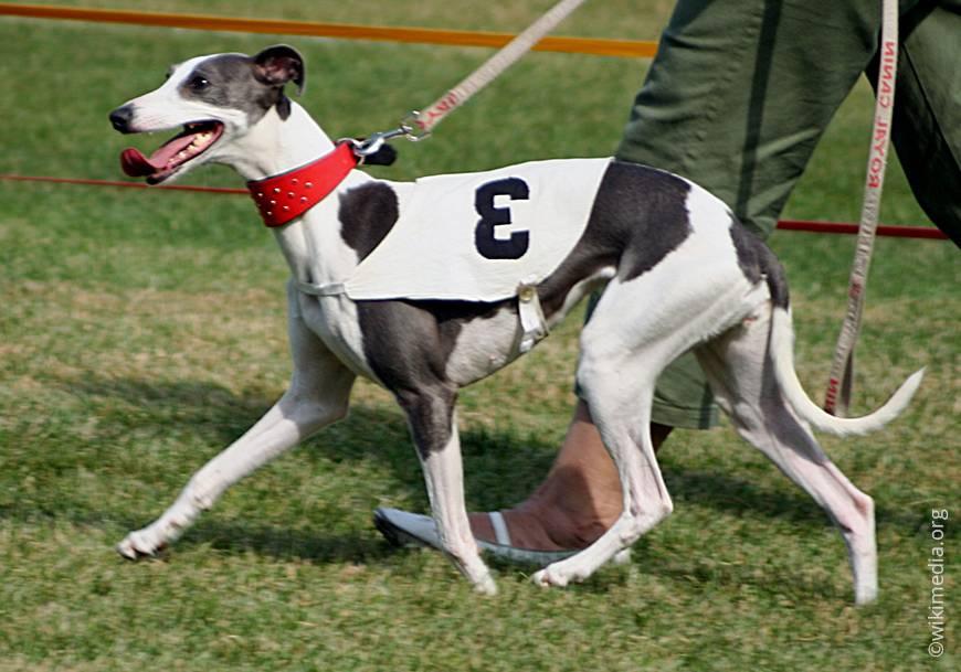 Собака уиппет: описание, уход, условия выбора щенков