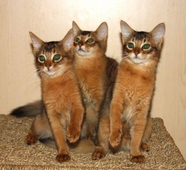Сомалийская кошка (сомали): описание, фото, уход, содержание и характер длинношерстной кошки