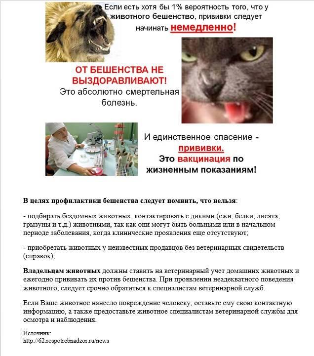 Если укусила бешеная кошка: симптомы и признаки бешенства у человека после укуса кошки или кота, есть ли прививка от бешенства для людей