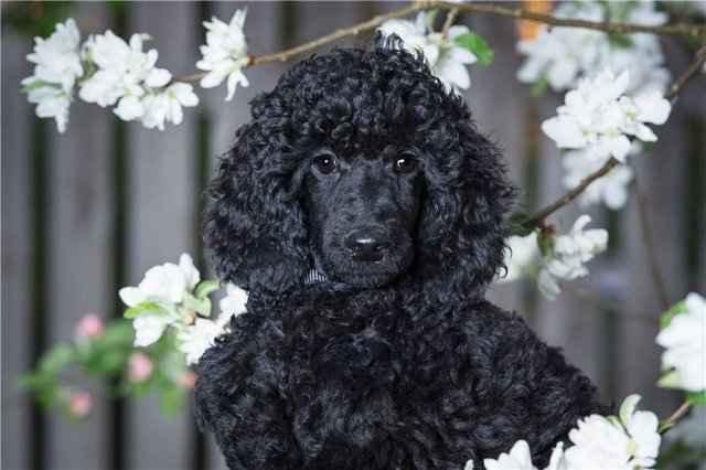 Разновидности собаки породы бигль, окрасы и стандарты