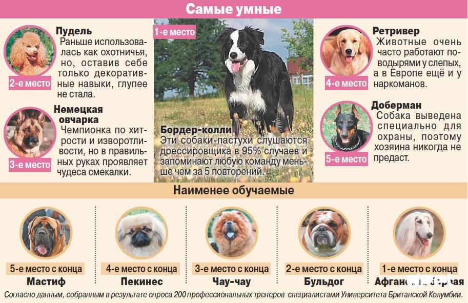Выпадение глаз у собак — предрасположенные породы, причины, лечение