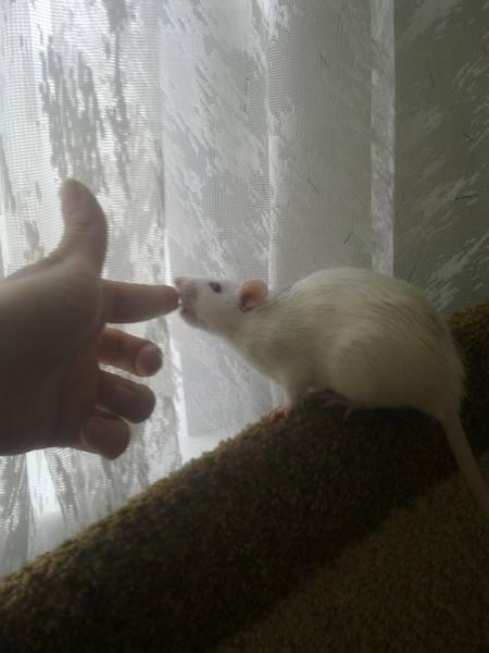 [новое исследование] как приучить крысу к рукам если она боится: пошаговая инструкция (и почему это важно)