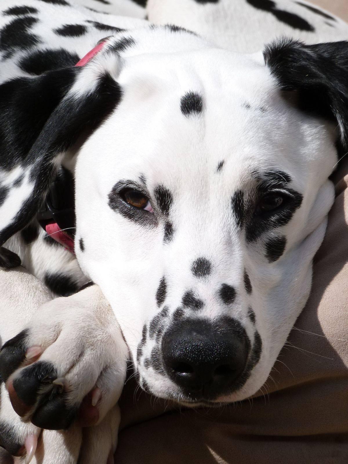 Стандарт собак далматин и похожие породы