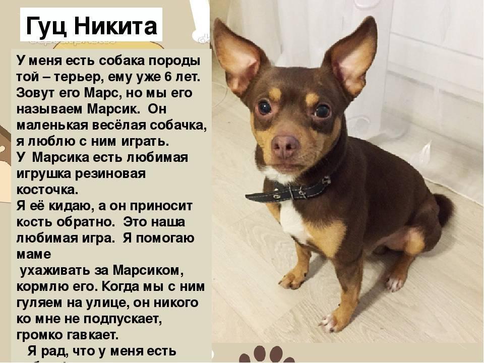 Самая миниатюрная декоративная собачка из группы тоев – русский той-терьер