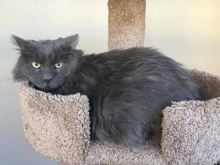 Порода кошек нибелунг или русская голубая длинношерстная кошка
