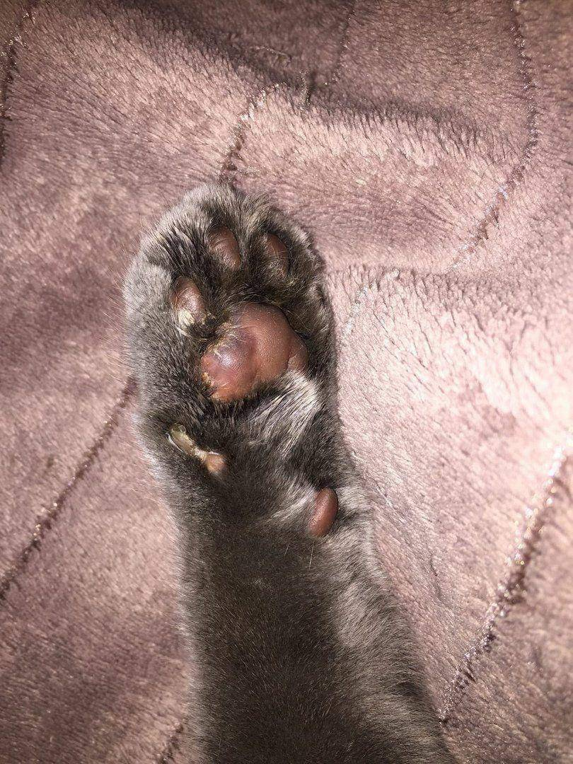 Вздутие живота у кошек