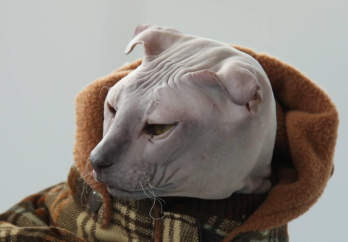 Донской сфинкс: все о кошке, фото, описание породы, характер, цена
