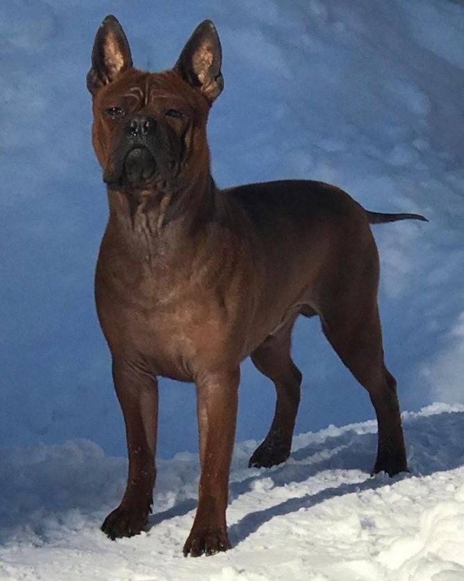 Чунцин собака: история породы и требования к содержанию китайских бульдогов