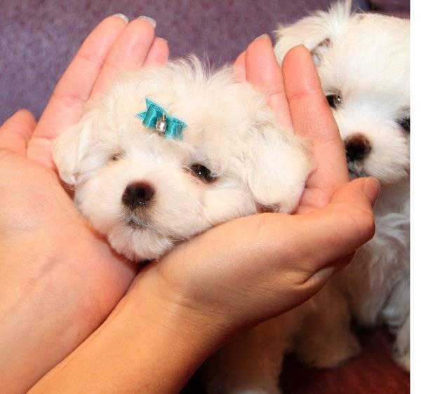 Мальтипу собака. описание, особенности, уход и цена породы мальтипу | sobakagav.ru