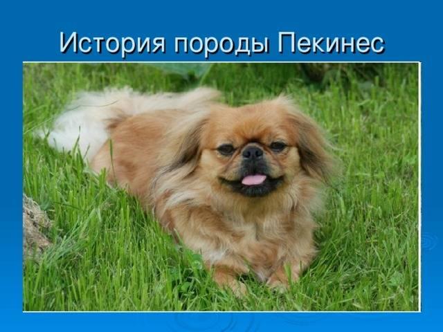 Пекинес собака. описание, особенности, уход и цена пекинеса